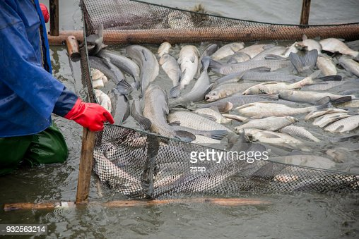 Many big fish were caught on the fishing grounds by workers. : Stock Photo