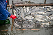 Many big fish were caught on the fishing grounds by workers.