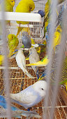 Many budgerigars in cage on a market in spain