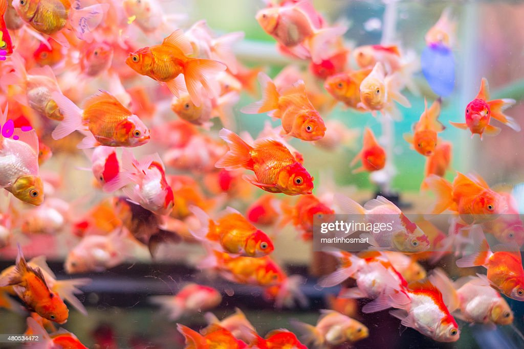 many gold fish in aquarium : Bildbanksbilder