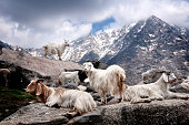 White kashmir (pashmina) goats living freely in the foothills of the Himalaya