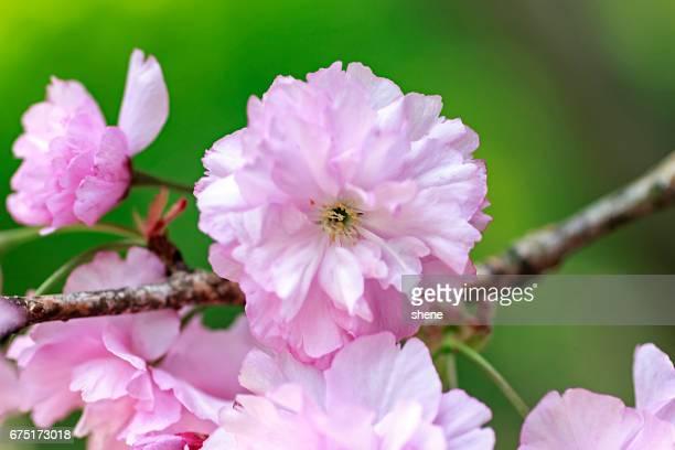 Many Petals Cherry Blossom