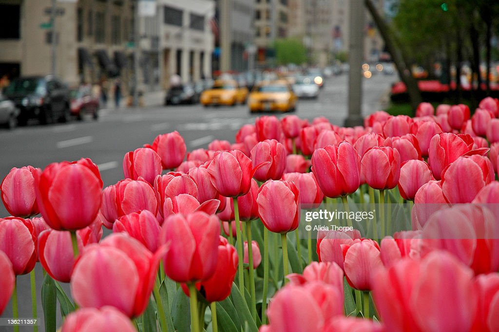 Many tulips on Park Ave.