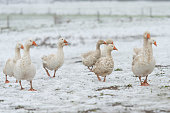 many white geese on a white meadow in winter at snow