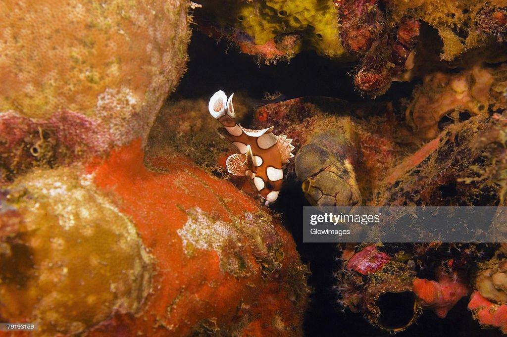 Many-Spotted Sweetlips (Plectorhincus chaetodotoides) swimming underwater, Papua New Guinea : Stock Photo