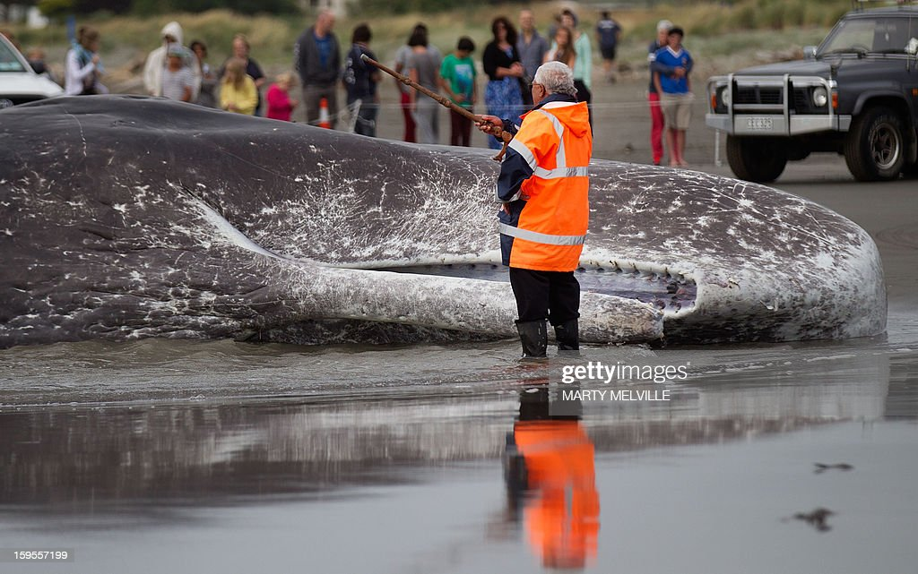 A Maori elder (C) blesses dead body of a 15 metre sperm whale lies on a Paraparaumu beach on the Kapiti Coast on January 16, 2013 before it is cut up and removed. Hundreds of people gathered to see the whale which was washed up on the beach overnight after it died.