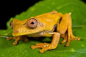 Map tree frog, Hypsiboas geographicus