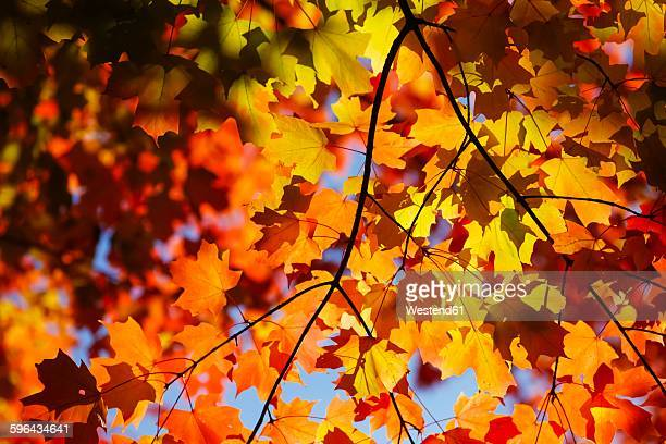 Maple, autumn leaves