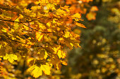 Maple branch with yellow leaves in autumn sunlight