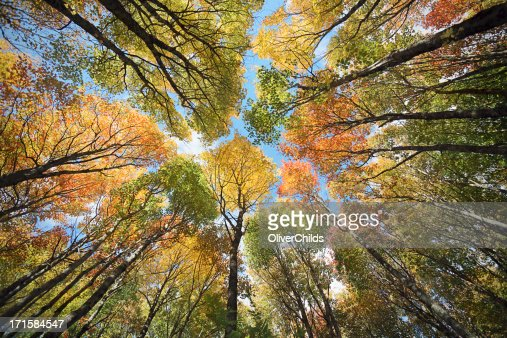 Maple forest canopy, Autumn.