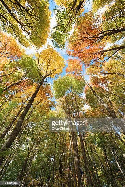 Foresta di alberi di acero, autunno.