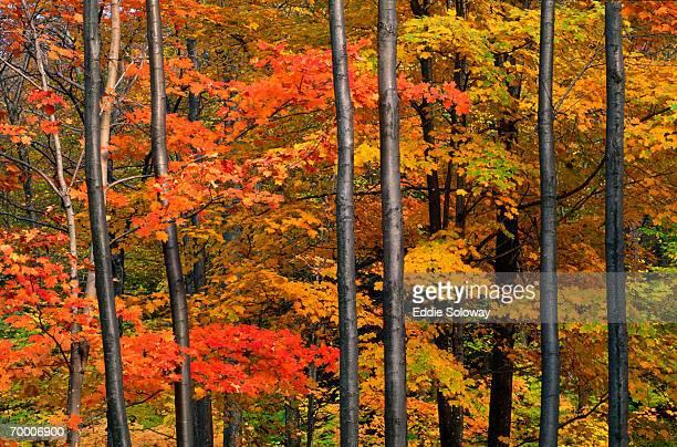 Maple forest (Acer sarcharum), Vermont, USA