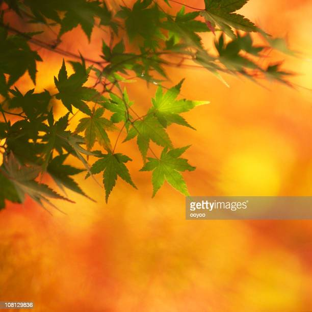 Maple leaf against orange background
