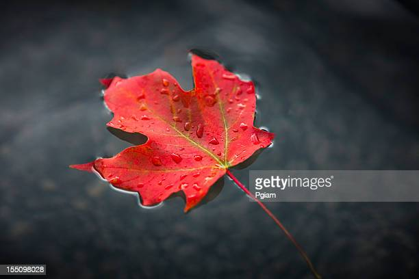 Maple leaf floating on fresh water