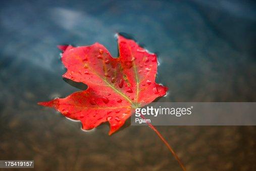 Maple leaf floating on fresh water