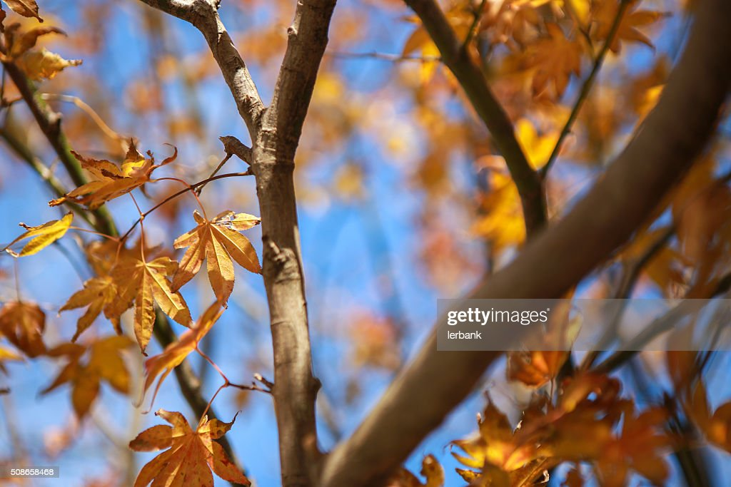 Maple leaf in autumn in korea. : Stock Photo