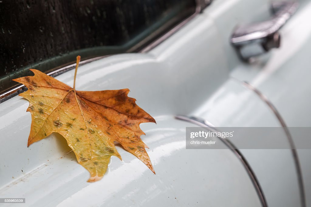 maple leaf on a wet classical car : Stock Photo