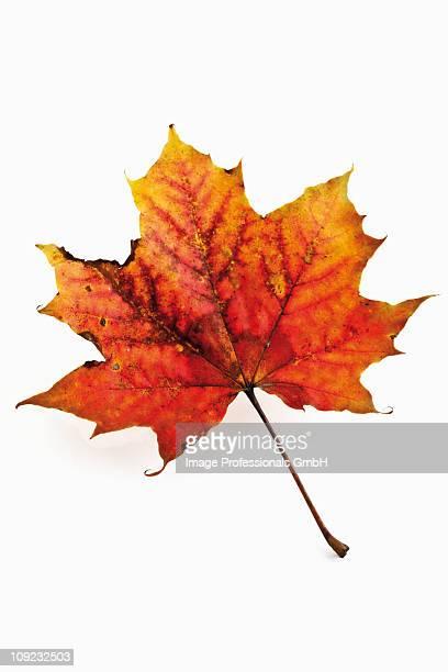 Maple leaf on white background, close-up