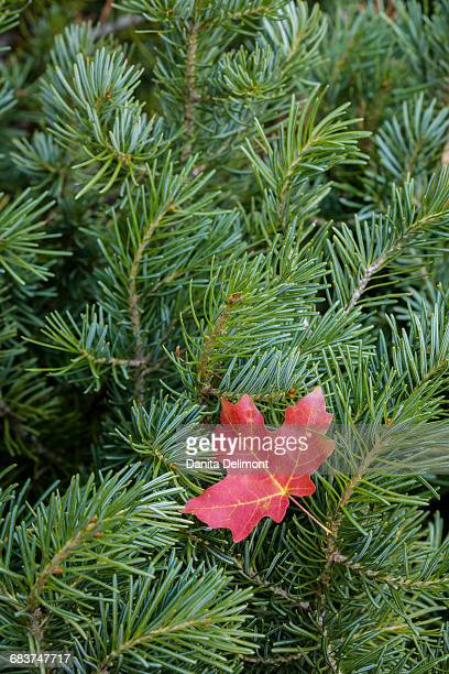 Maple leaf on white fir tree, Wasatch Cache National Forest, Utah, USA