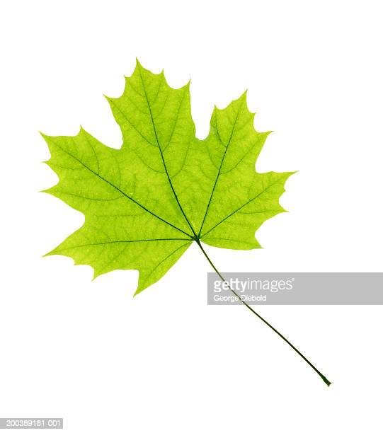 Maple leaf, overhead view. close-up