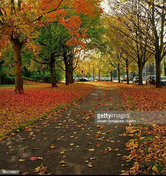 Maple Leaves Falling In Road