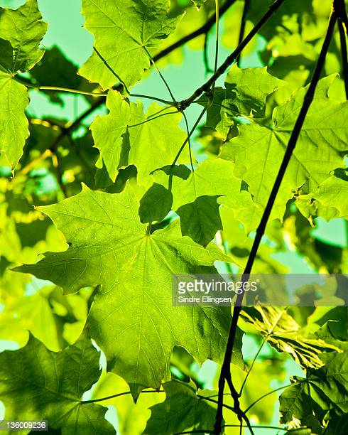 Maple leaves in spring colors