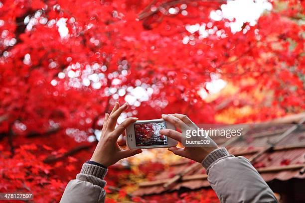 Maple leaves photograper