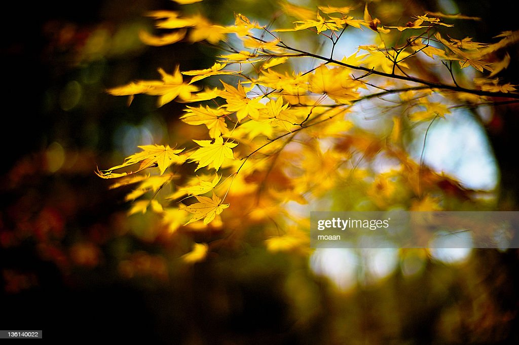 Maple leaves : Stock Photo