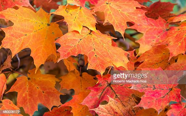 Maple leaves turning yellow and red with the coming of the fall Beautiful Canadian symbol Awesome colors of the autumn in Canada seen in the one of...