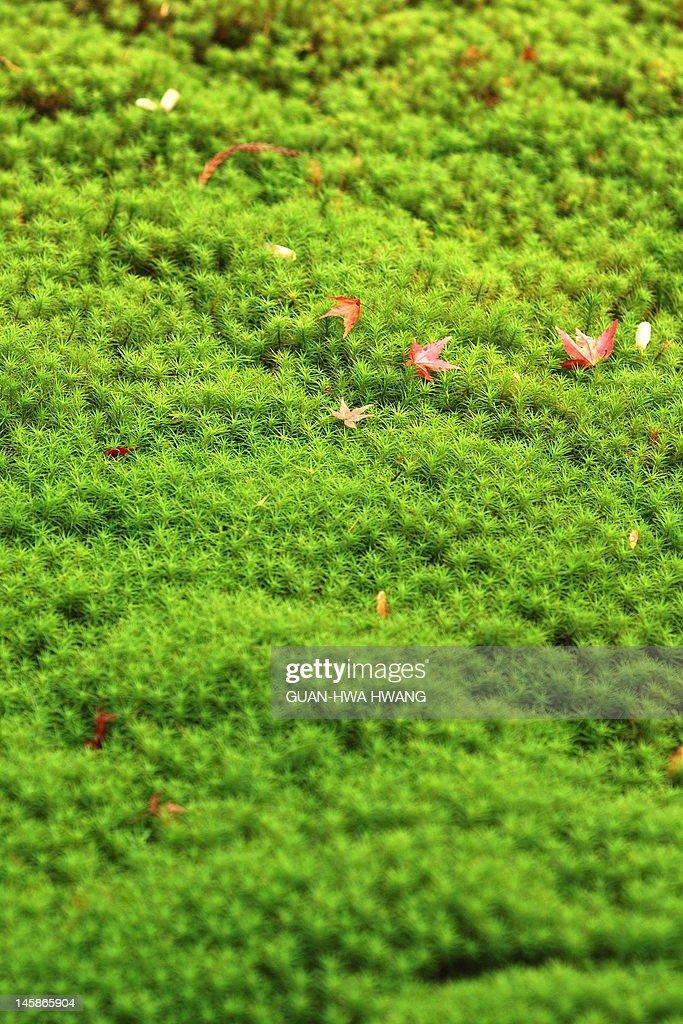 Maple on moss : Stock Photo