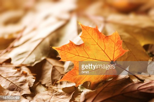 maple : Stock Photo