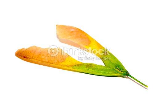 Maple Seed On White Stock Photo - Thinkstock