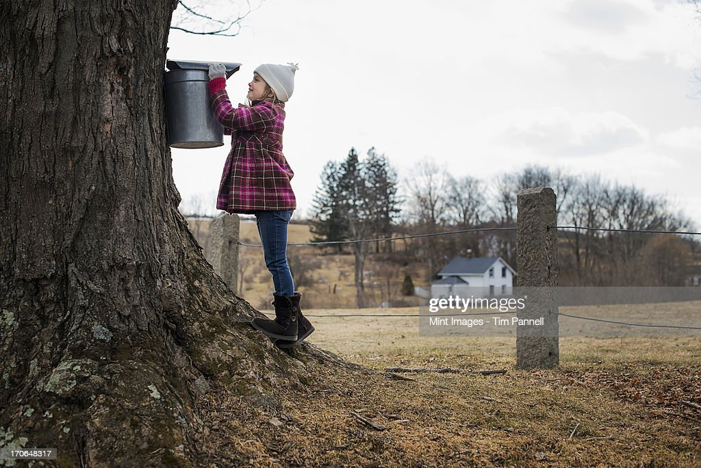 A maple syrup farm. A young girl holding a bucket which is tapping the sap from the tree.