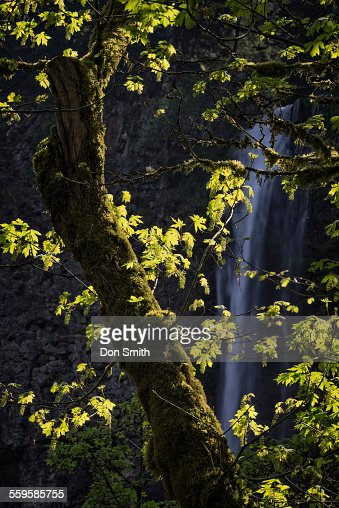 Maple Tree and Multnomah Falls