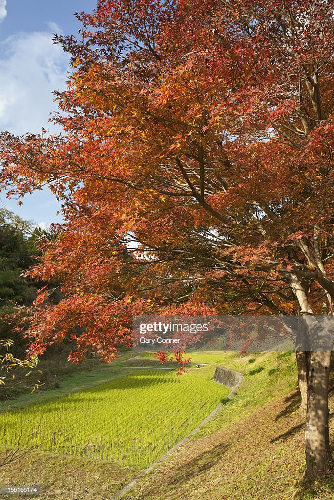 Maple tree and rice field : Stock Photo