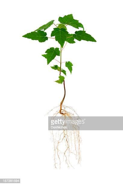 Arce y Roots