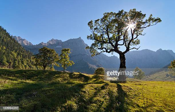 Maple tree at Ahornboden Tyrol, Austria