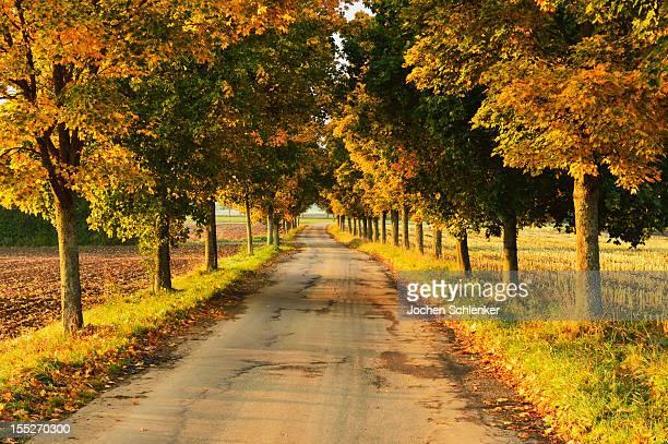 Maple tree avenue