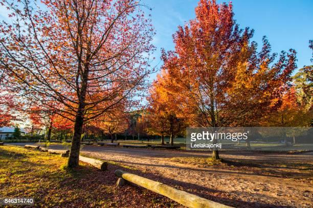 Maple tree during Autumn season in Mt.Wilson