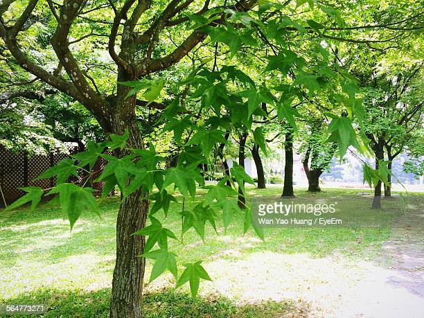 Maple Tree In Park