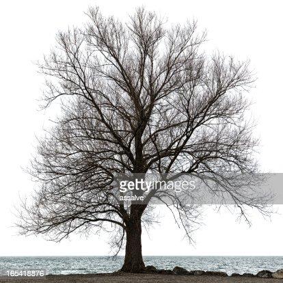 maple tree isolated on white