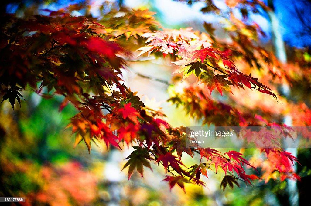 Maple tree leaves : Stock Photo