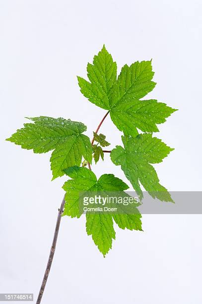 Maple tree sprig in spring