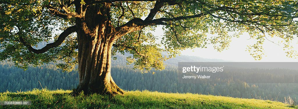 Maple tree (Acer platanoides), sunset : Stock Photo
