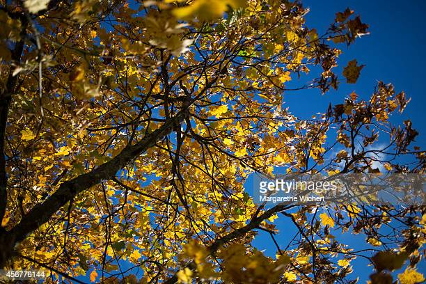 A maple tree which leaves are autumnal coloured on October 04 2014 in Eng near Hinterriss Austria