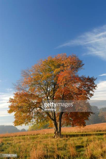 Maple Tree with Blue Sky