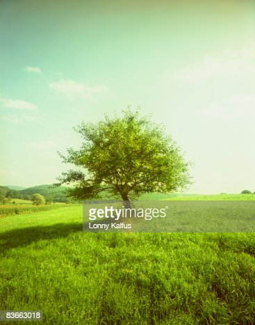 maple treee in field : Bildbanksbilder