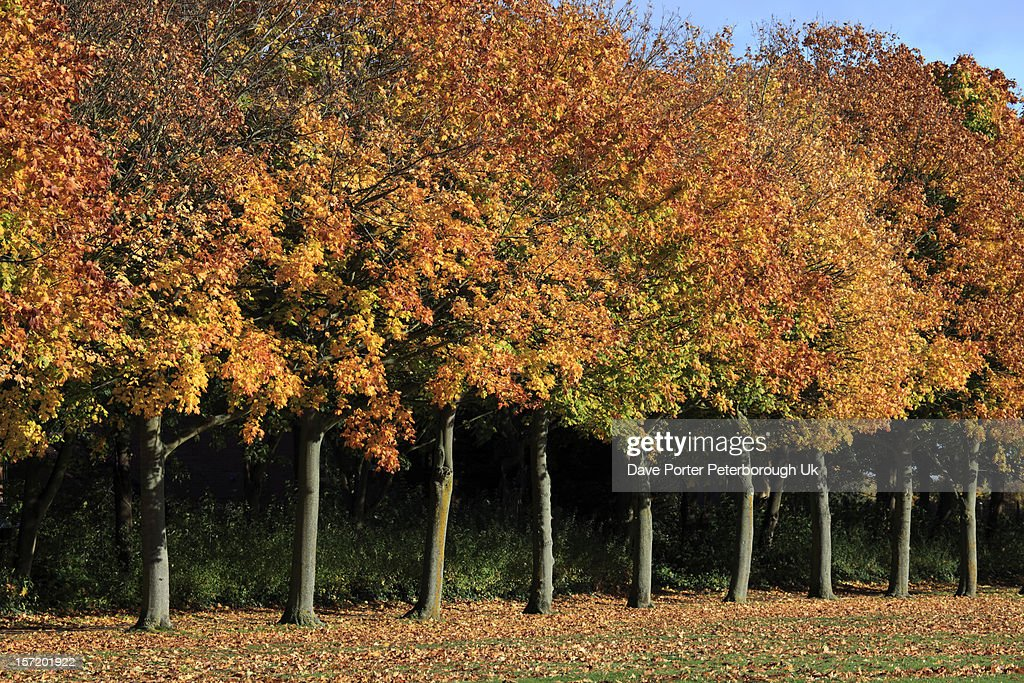 Maple trees and leaves in autumn colours : Stock Photo