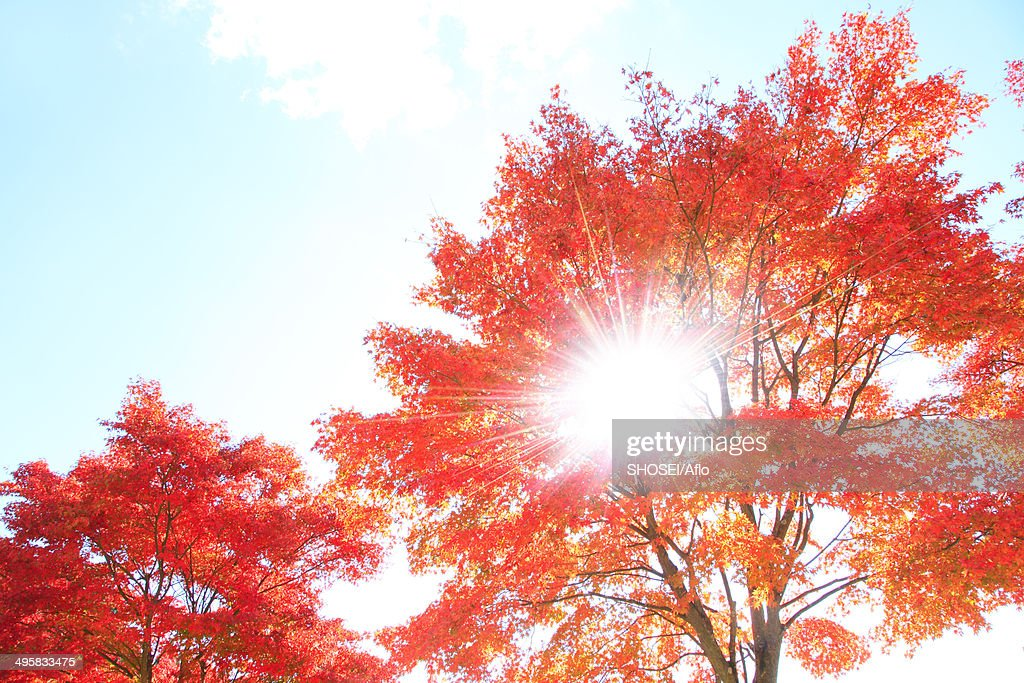 Maple trees and sky, Japan