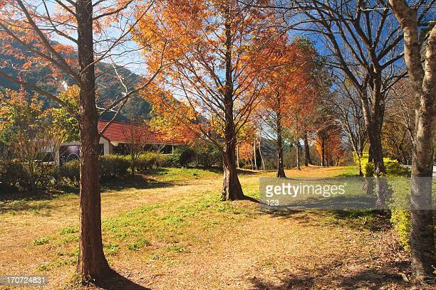 Maple trees footpath